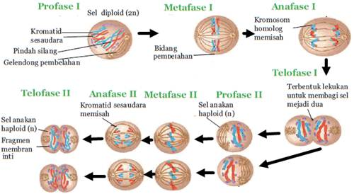 macam-macam pembelahan sel