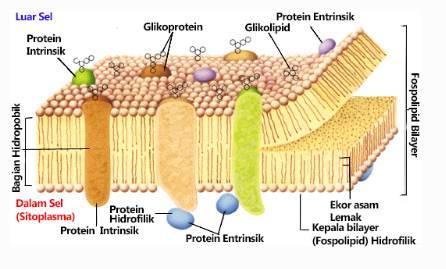 struktur pembelahan sel