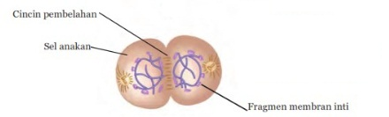 gambar Tahap Pembelahan Mitosis